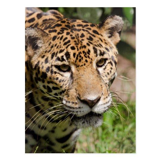 Captive jaguar in jungle enclosure 2 postcard