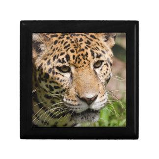 Captive jaguar in jungle enclosure 2 small square gift box