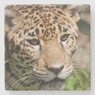 Captive jaguar in jungle enclosure 2 stone coaster