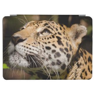 Captive jaguar in jungle enclosure 3 iPad air cover