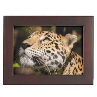 Captive jaguar in jungle enclosure 3 keepsake boxes