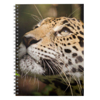 Captive jaguar in jungle enclosure 3 notebooks
