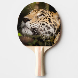 Captive jaguar in jungle enclosure 3 ping pong paddle