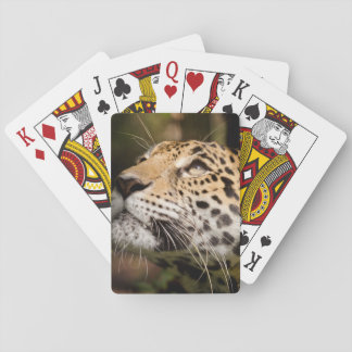 Captive jaguar in jungle enclosure 3 playing cards