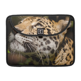 Captive jaguar in jungle enclosure 3 sleeve for MacBook pro