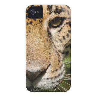 Captive jaguar in jungle enclosure iPhone 4 cover