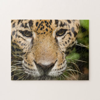 Captive jaguar in jungle enclosure jigsaw puzzle