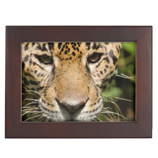 Captive jaguar in jungle enclosure keepsake box