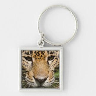 Captive jaguar in jungle enclosure keychain