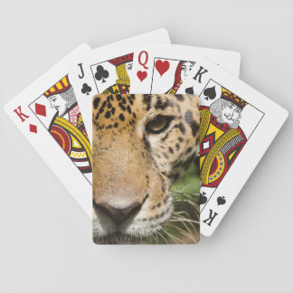 Captive jaguar in jungle enclosure playing cards