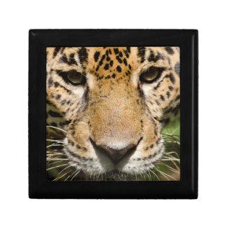 Captive jaguar in jungle enclosure small square gift box