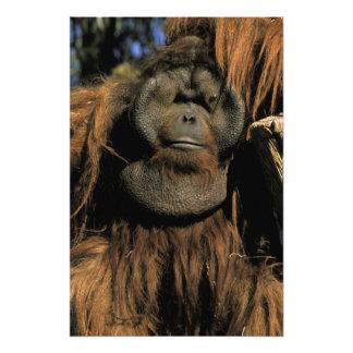 Captive orangutan, or pongo pygmaeus. 2 art photo