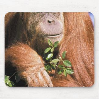 Captive orangutan, or pongo pygmaeus. 2 mouse pad