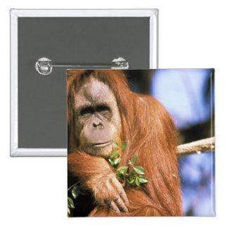 Captive orangutan, or pongo pygmaeus. 3 15 cm square badge