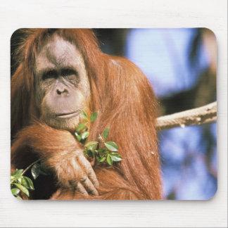 Captive orangutan, or pongo pygmaeus. 3 mouse mat