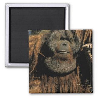 Captive orangutan, or pongo pygmaeus. magnets