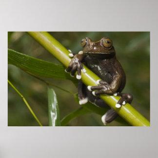 Captive Tapichalaca Tree Frog Hyloscirtus 2 Poster