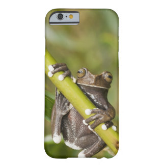Captive Tapichalaca Tree Frog Hyloscirtus Barely There iPhone 6 Case