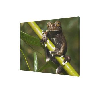 Captive Tapichalaca Tree Frog Hyloscirtus Canvas Print