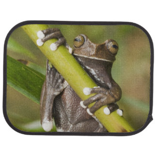Captive Tapichalaca Tree Frog Hyloscirtus Car Mat