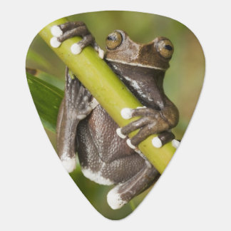 Captive Tapichalaca Tree Frog Hyloscirtus Guitar Pick