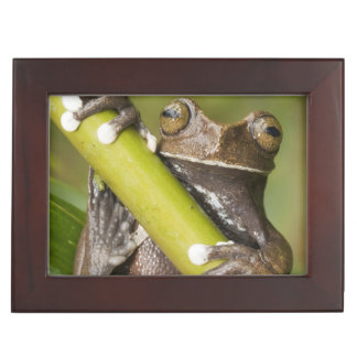 Captive Tapichalaca Tree Frog Hyloscirtus Keepsake Box