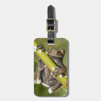 Captive Tapichalaca Tree Frog Hyloscirtus Luggage Tag