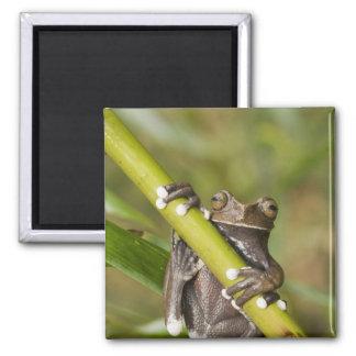 Captive Tapichalaca Tree Frog Hyloscirtus Square Magnet