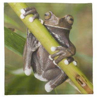 Captive Tapichalaca Tree Frog Hyloscirtus Napkin