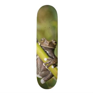 Captive Tapichalaca Tree Frog Hyloscirtus Skateboard