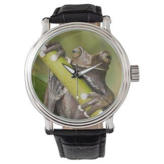 Captive Tapichalaca Tree Frog Hyloscirtus Watch