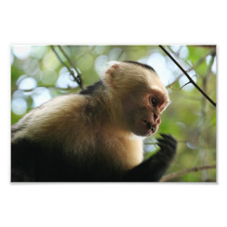 Capuchin Monkey Art Photo