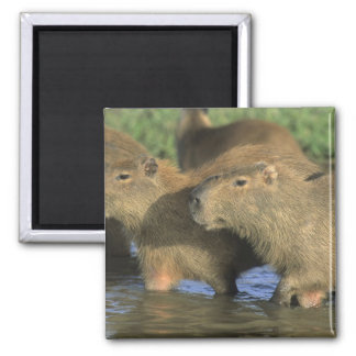 Capybara Hydrochaeris hydrochaeris world s Fridge Magnet