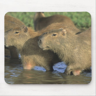 Capybara Hydrochaeris hydrochaeris world s Mousepad