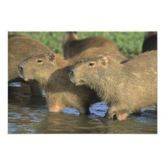 Capybara Hydrochaeris hydrochaeris world s Photographic Print