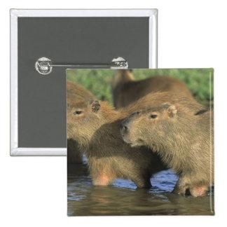 Capybara, Hydrochaeris hydrochaeris), world's 15 Cm Square Badge