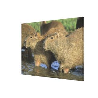 Capybara, Hydrochaeris hydrochaeris), world's Canvas Prints