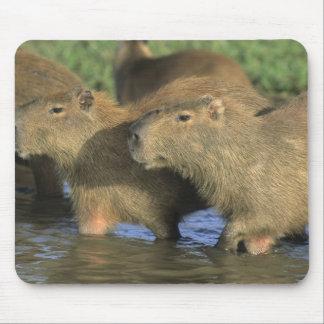 Capybara, Hydrochaeris hydrochaeris), world's Mousepad