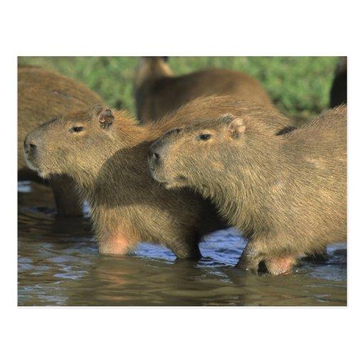 Capybara, Hydrochaeris hydrochaeris), world's Postcards