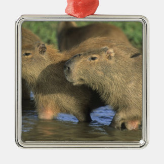 Capybara, Hydrochaeris hydrochaeris), world's Silver-Colored Square Decoration