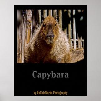 Capybara Staring Posters