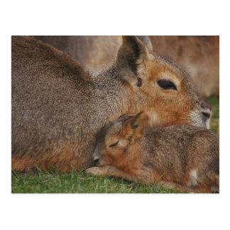 Capybaras Postcard