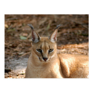 CaracalBCR030 Post Cards