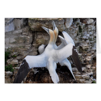 Card: Courting Gannets Greeting Card