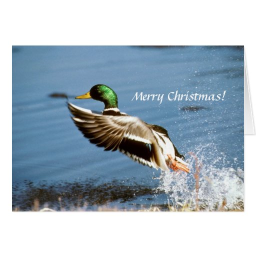 Card / Mallard Duck
