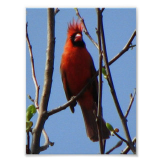 Cardinal in a Tree Poster