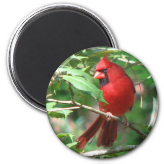 Cardinal in Holly Magnet