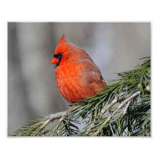 Cardinal Male Bird - Print Photograph