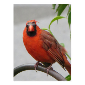 Cardinal On Feeder Postcard