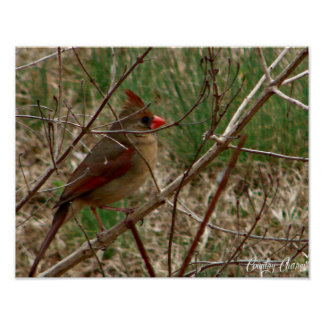 Cardinal on stretched Canvas Poster
